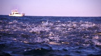 More abundance in action: menhaden off Montauk, NY.