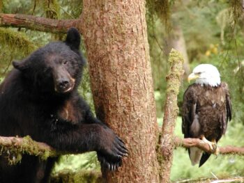Black bear and eagle in the Tongass National Forest. Photo via USFS.