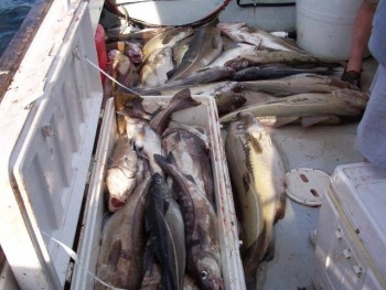 A Boatload of Cod