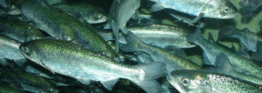 Chinook salmon school