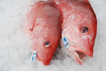Red Snapper photo courtesy of the Gulf of Mexico Reef Fish Shareholders' Alliance