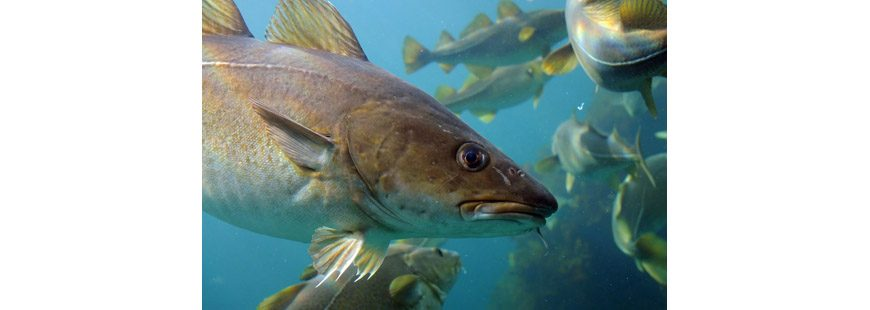 Gulf of Maine Atlantic Cod, by Joachim S. Mueller