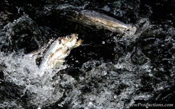 Rhode Island river herring, photo by Mike Laptew.