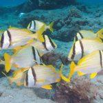Brain Food: Tasty Grunts Open Windows Into How Coastal Ecosystems Operate