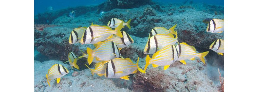 Photo: Porkfish are some of the larger and more beautiful of the species in the generally colorful grunt clan. Photo credit: Dan Snyder