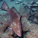 Red Grouper – One of the Other Red Fish in the Gulf of Mexico