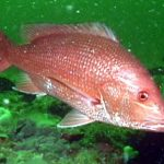 Cautious Optimism for the Gulf of Mexico Red Snapper EFPs
