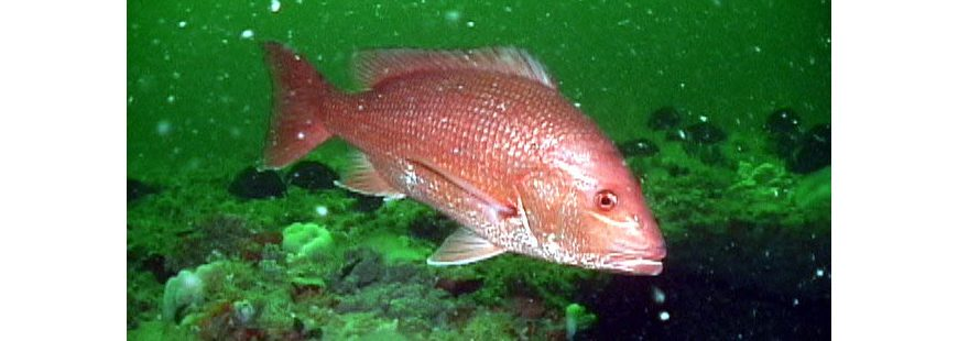 Photo: Red Snapper in the Gray's Reef National Marine Sanctuary, by Greg McFall/NOAA