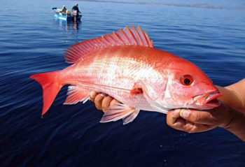 Red snapper, photo via NOAA