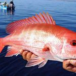 As Gulf Snapper Seasons Close, New Data Sheds Light on Mismanagement Claims