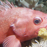 Rockfish Recovery in More Ways than One