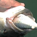 The Idea of Ecosystem-Based Management and Menhaden
