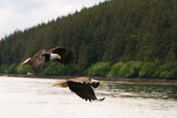 Bald Eagles in the Tongass National Forest. Photo: J Spafford/USFS.