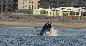 Whale feeding on menhaden close to shore. Photo by John McMurray.