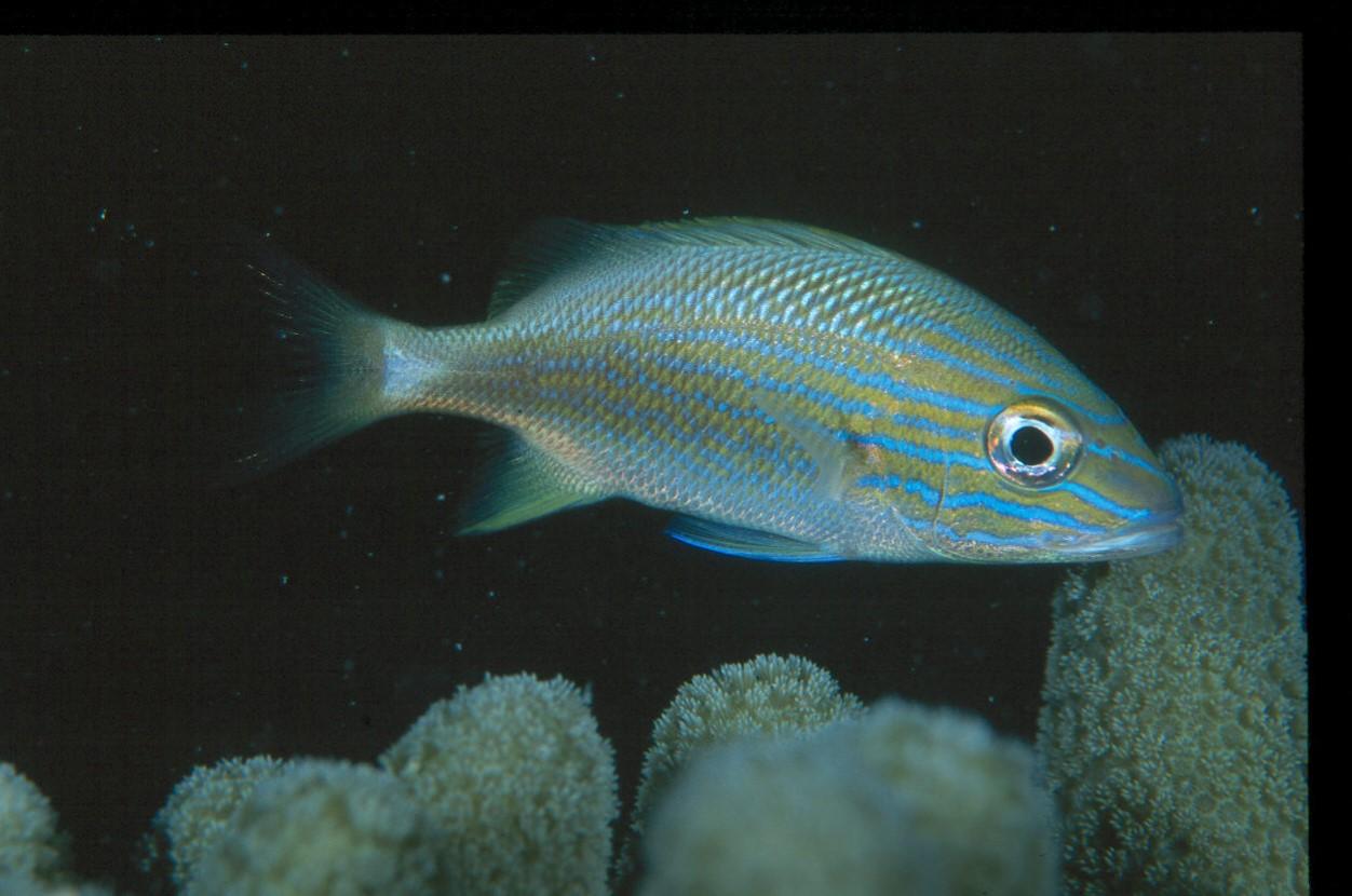 Brain food tasty grunts open windows into how coastal for Whiting fish florida