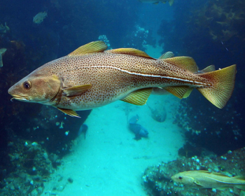 Atlantic Cod (NOAA photo)