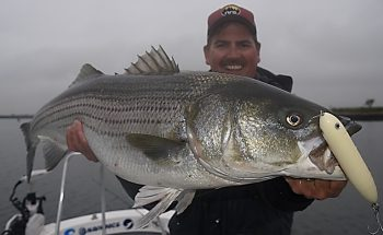 Big bass eat plugs when menhaden are abundant