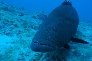 This black grouper was photographed on Riley's Hump, in the Dry Tortugas National Park. Riley's Hump is a well-documented multi-species spawning aggregation sight, where many varieties of snappers, groupers and jacks reproduce. Grunts are one of the most important forage sources for these breeder groupers. Photo credit: Don DeMaria