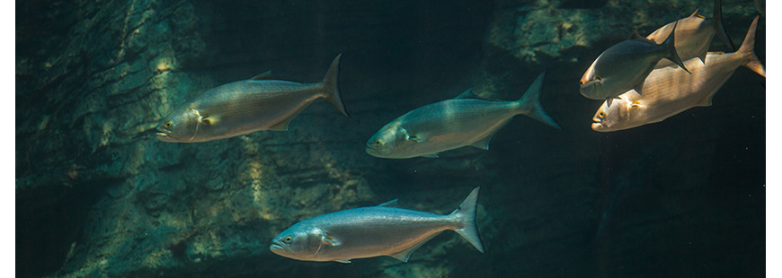 Bluefish, photo via NOAA
