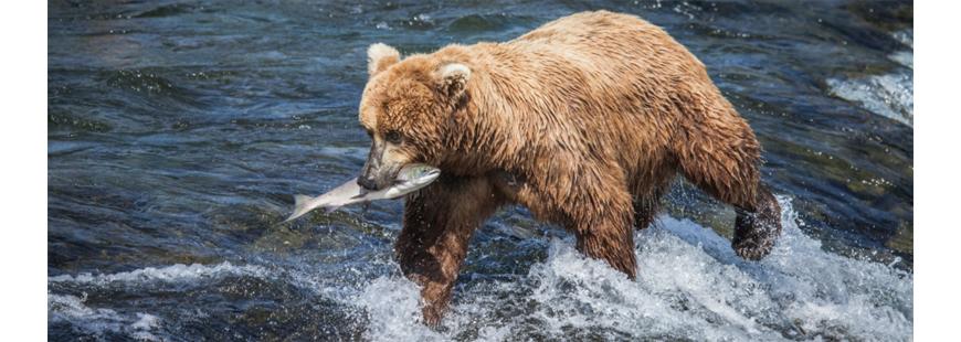 Bristol Bay brown bear, courtesy NWF