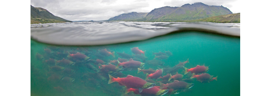 Bristol Bay sockeye salmon, via Earthjustice and courtesy Of Fish Eye Guy Photography