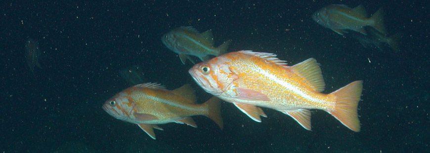 Canary Rockfish. Photo via NOAA.