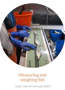 Measuring & weighing fish