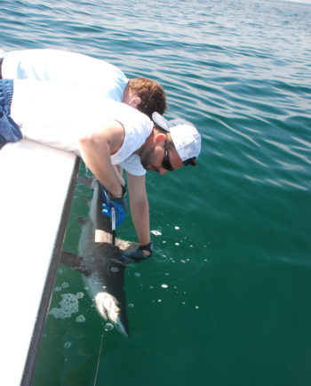 Catching a shark for research.