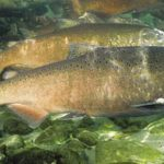 Salmon are Integral to California's Coastal Economy. We Must Not Lose Them.