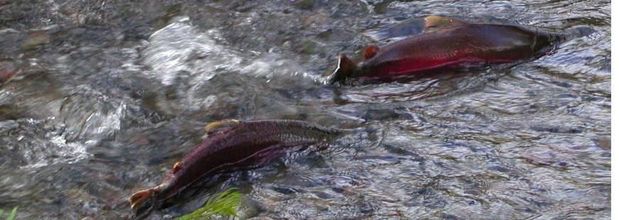 Coho Salmon in Oregon's Tillamook State Forest. Photo courtesy Wikipedia/Oregon Department of Forestry