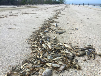 Red tide causes tremendous amount of fish to die and wash up on Florida beaches.