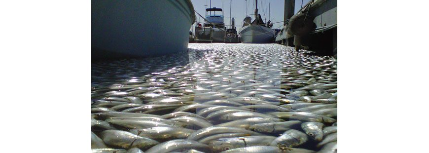 Thousands of dead sardines in Kings Harbor, Redondo Beach, California