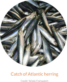 Catch of Atlantic Herring