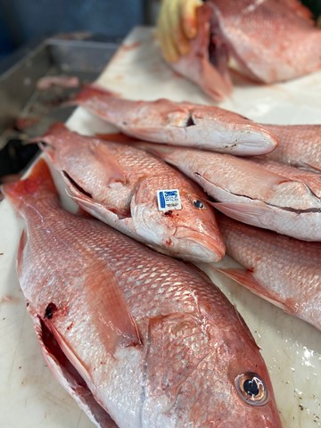 Red snapper, complete with Gulf Wild[TM] tag, ready to be filleted.
