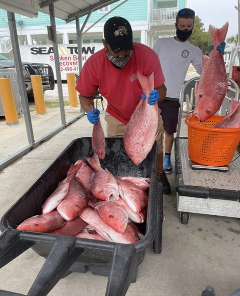 Larry Jones of Lombardi's Seafood offloads red snapper as Florida Fish and Wildlife Conservation Commission (FWC) Marine Biologist  Matt Doster prepares to take scientific samples.