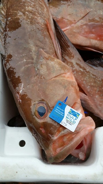 Red grouper with Gulf WildTM tag offloaded at Wild Seafood Co. in Madeira Beach, Florida, ready to be processed by Evans Meats and Seafood.