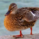 Defending Magnuson-Stevens from the Lame Duck