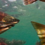 A Snapper in Salmon's Clothing: Why H.R. 2023 is Bad for West Coast Fisheries
