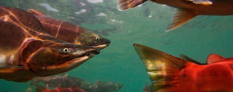 Pacific Salmon Migrating