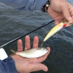 Menhaden Madness Continues…'Big Fish' Wins, Little Guys Lose