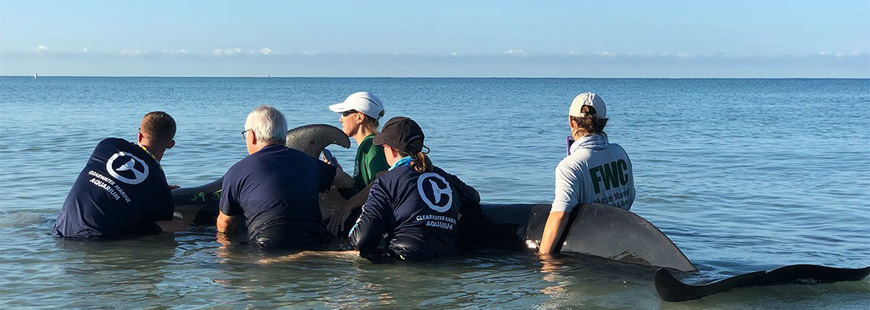 pilot whale with a rescue team from the Clearwater Marine Aquarium, FL