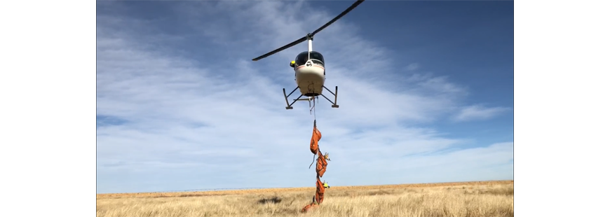 Relocating pronghorn via helicopter in Texas