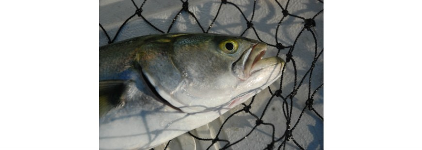 Recreationally caught bluefish