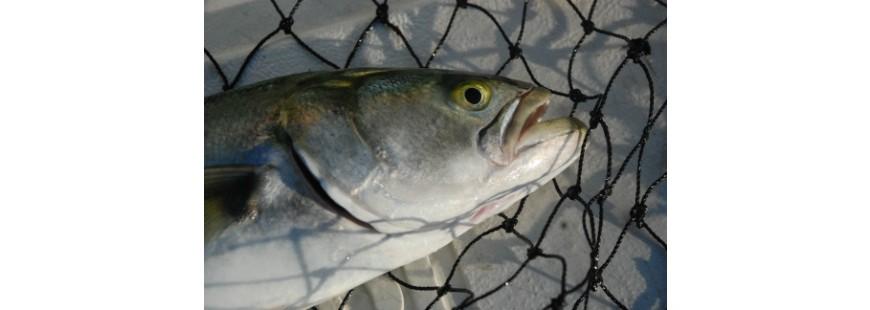 Recreationally caught bluefish