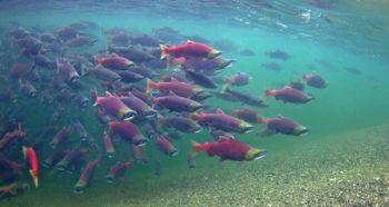 Sockeye salmon in Lake Illiamna in the Bristol Bay watershed