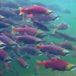 Kevin Scribner: Pebble Mine Threatens the Largest Wild Salmon Run in the World