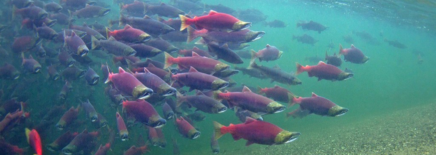 Sockeye salmon in Lake Iliamna, which drains into Bristol Bay