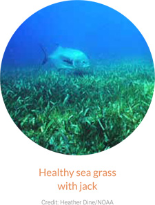 Healthy sea grass with jack