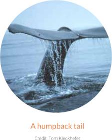 A humpback's tail