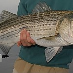 Responsibility for Striped Bass Rests on All of Us
